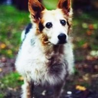 old dog with cataracts