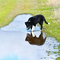 Leptospirosis in Dogs: What You Should Know